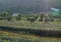 荔花村茶园